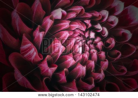 Dark red flower petals, close up and macro of chrysanthemum, beautiful abstract background.