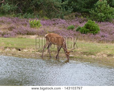 A red deer stag (cervus elaphus) drinking from a small pond