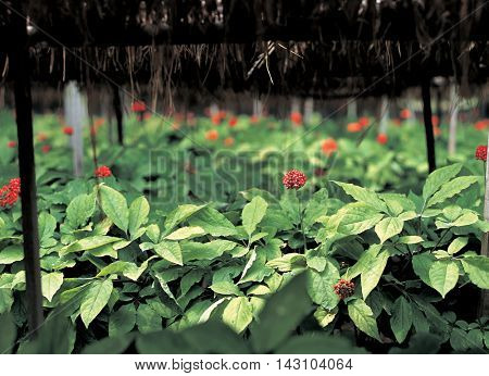 Red berries, ginseng field
