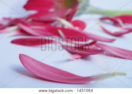Pink Deisy Petals