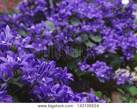 Deep indigo violet blossoms covering herbs in the garden