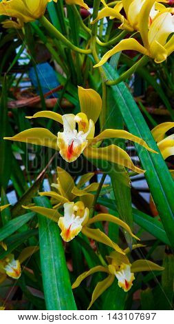 Indian orchid.Only found in the hilly regions of Indian state of Sikkim.