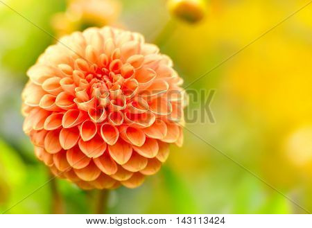 Orange dahlia flower with selective focus and copy space. Flower background.