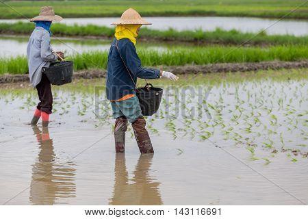 Farmers are planting seedlings in her field.