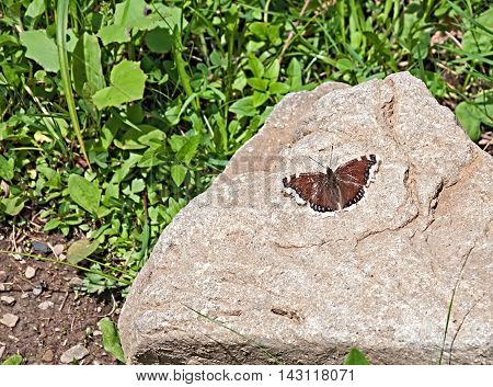 Monarch Butterfly with open wings in a top view sitting on the stone the beauty of nature.
