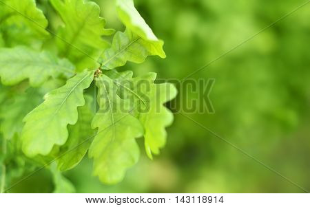 Fresh, green oak leaves with selective focus and copy space. Nature background.