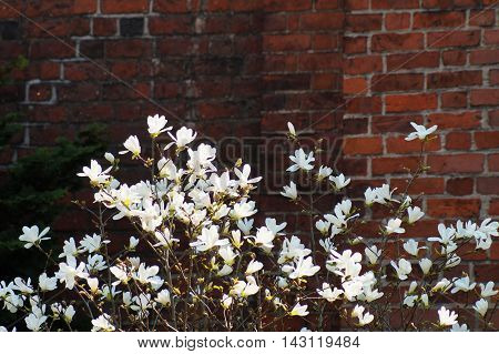 A background image with many white bloomed magnolia flowers standing in front of a dark orange brick wall with a partial view of a green cedar tree.
