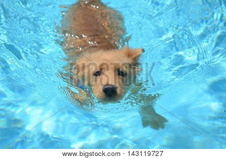 Adorable golden retriever puppy swimming in a pool