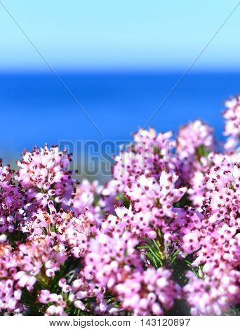Pink heather with selective focus and blue sea.