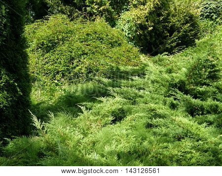 Coniferous trees and shrubs in the Park.