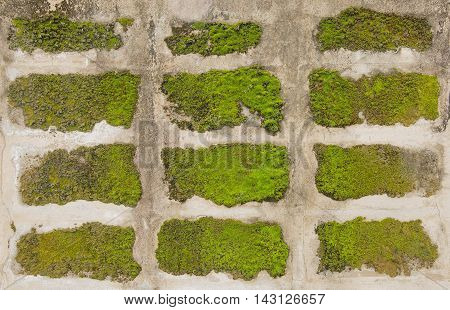 Concrete moss wall background , Selective focus.