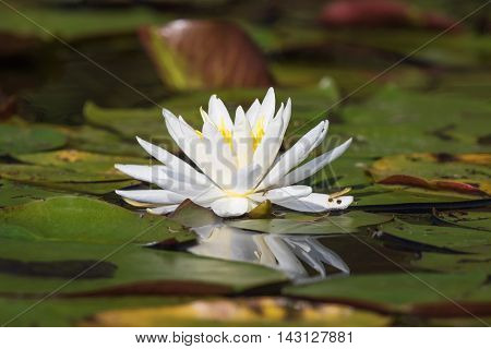 American White Water Lily (Nymphaea odorata) blooming on an Ontario Lake