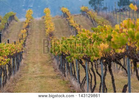 Autumn winter vineyard rows with green and yellow grape leaves. Australian outback rural farm abstract nature background. Selective focus shallow DOF