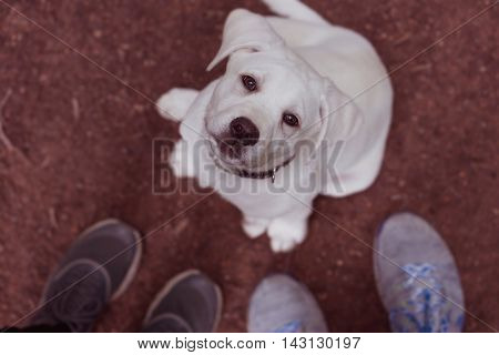 Little labrador puppy looks cute from the bottom up to his new family in a relaxing walk in the woods - happy family dog