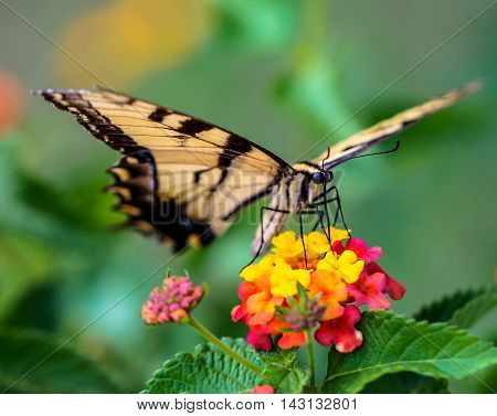 Eastern Tiger Swallowtail Butterfly on a Lantana Bloom