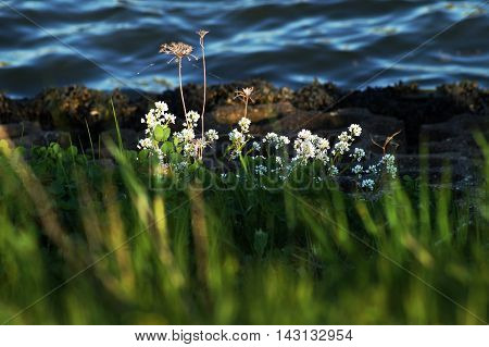 Small white flower bunch and dried tall flowers in the sun with a brown rocky blurred shore and blue sea in the background and green grass blurred in the foreground