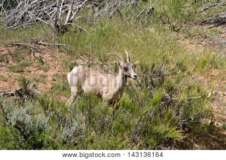 Bighorn sheep in Zion National Park Utah