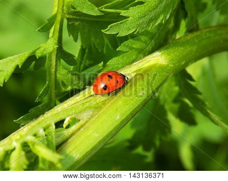 Ladybug on plant leaf on meadow in wild nature