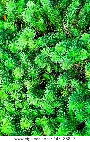 Sprouts of Euphorbia cyparissias the cypress spurge is a species of plant in the genus Euphorbia. Summer flower natural background.