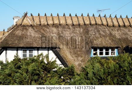 A typical Nordic old thatch roof of a house in the with blurry cedar branches in the foreground