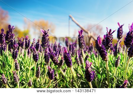 Blooming lavender on sunny summer day. Nature background