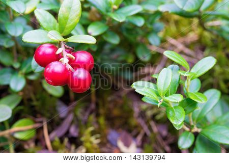 one cluster of wild red berries of cowberry on branches with green foliage closeup