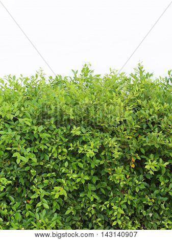 Horizontal shot of green hedge  on white background