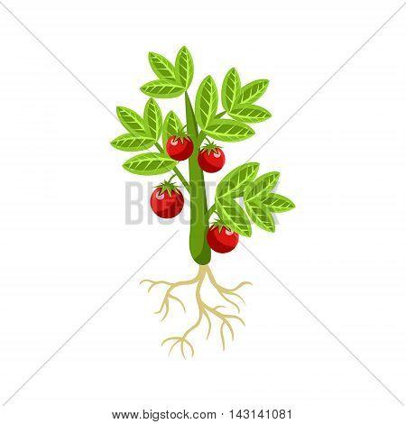 Fresh Tomato Primitive Realistic Illustration. Flat Bright Color Vector Icon Isolated On White Background.