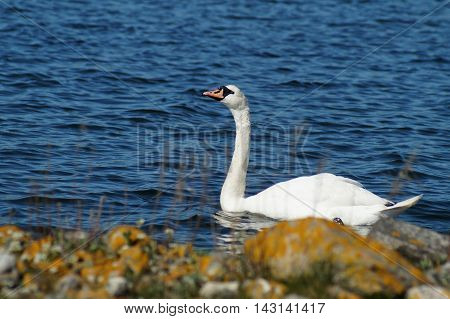 A swan swimming in a blue sea seen from the rocky shore