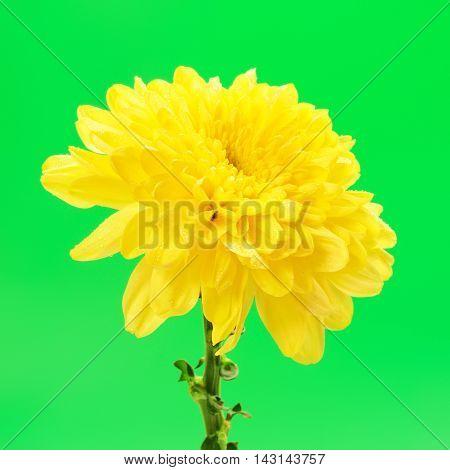 fresh autumn yellow chrysanthemum on green background