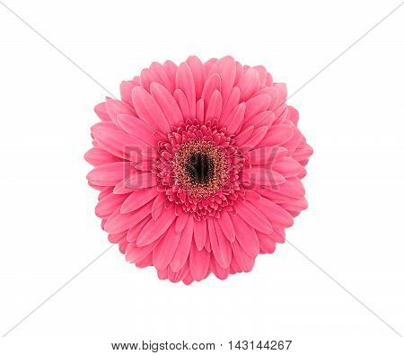 Pink Flower Gerbera Isolated On A White Background. Top View