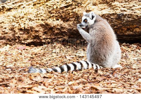 Ring-tailed lemur aka Lemur catta close up with copy space