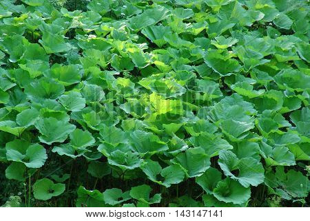 green leaves of burdock bushes growing on the meadow