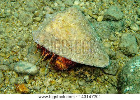 Hermit Crab from Gulf of Thailand, Pattaya, Thailand