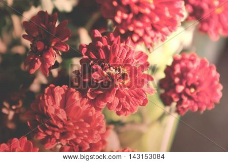 Red Vintage Chrysanthemum Flower In Garden. Soft Focus. Toned Image