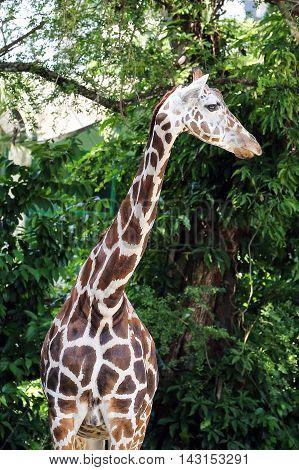 Giraffe head long neck looking at zoo daylight