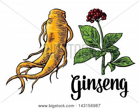 Root and leaves panax ginseng. Vector horizontal engraving colorful flat illustration of medicinal plants. Biological additives are. Healthy lifestyle. For traditional medicine gardening. Isolated on white background.