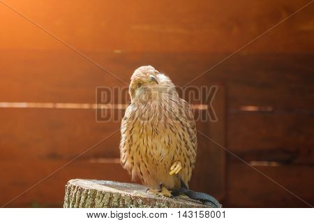 Kestrel bird closeup. Portrait of captive kestrel bird sitting on a stump with pursed foot and basking in the sun. Natural view with kestrel bird under soft sunlight