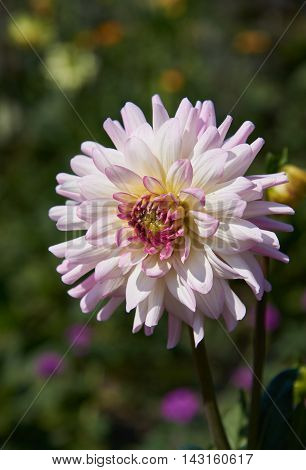 Delicate pink dahlia with brighter edges of the petals