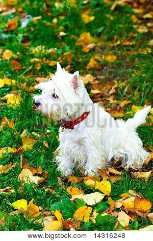 Beautiful Westie Portrait In Autumn Park