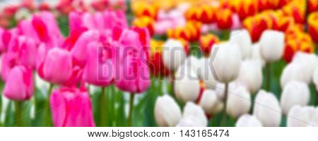 Blur panoramic flower texture with colorful pink, white tulip flowerbed