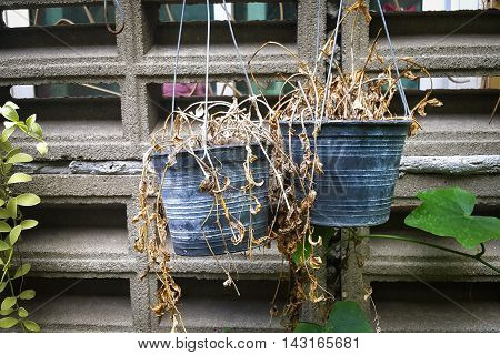 Dead Plants On Pots At Wall