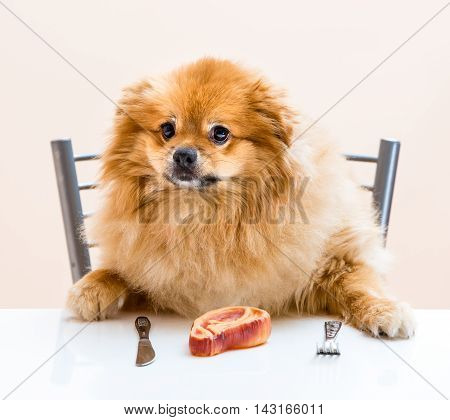 Dog Spitz Is Sitting At The Table