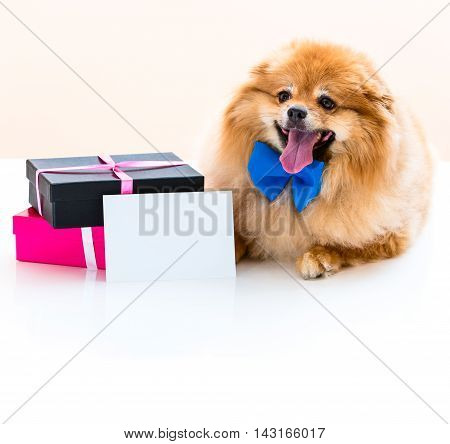 Spitz Sits Next To The Gifts