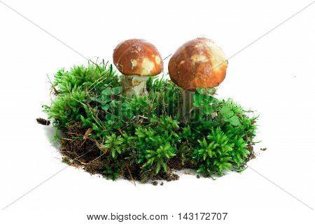 Mushroom In Moss Isolate