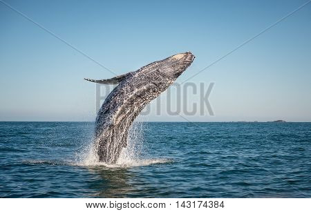 A happy whale breaches in the pacific ocean