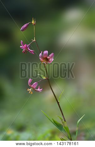Turks Cap Lily, Native Species In Europe
