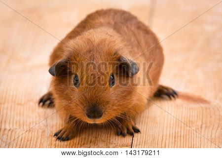 young guinea pig sitting on the wooden table