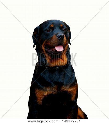 Rottweiler Dog Isolated On White Background