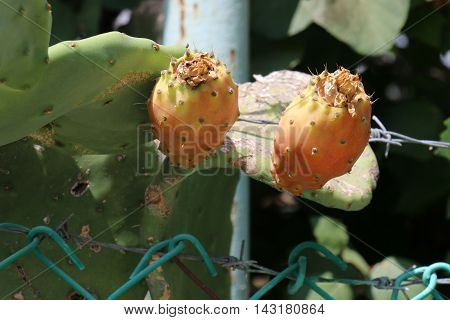 ripe prickly cactus fruit, the usual plant in Israel